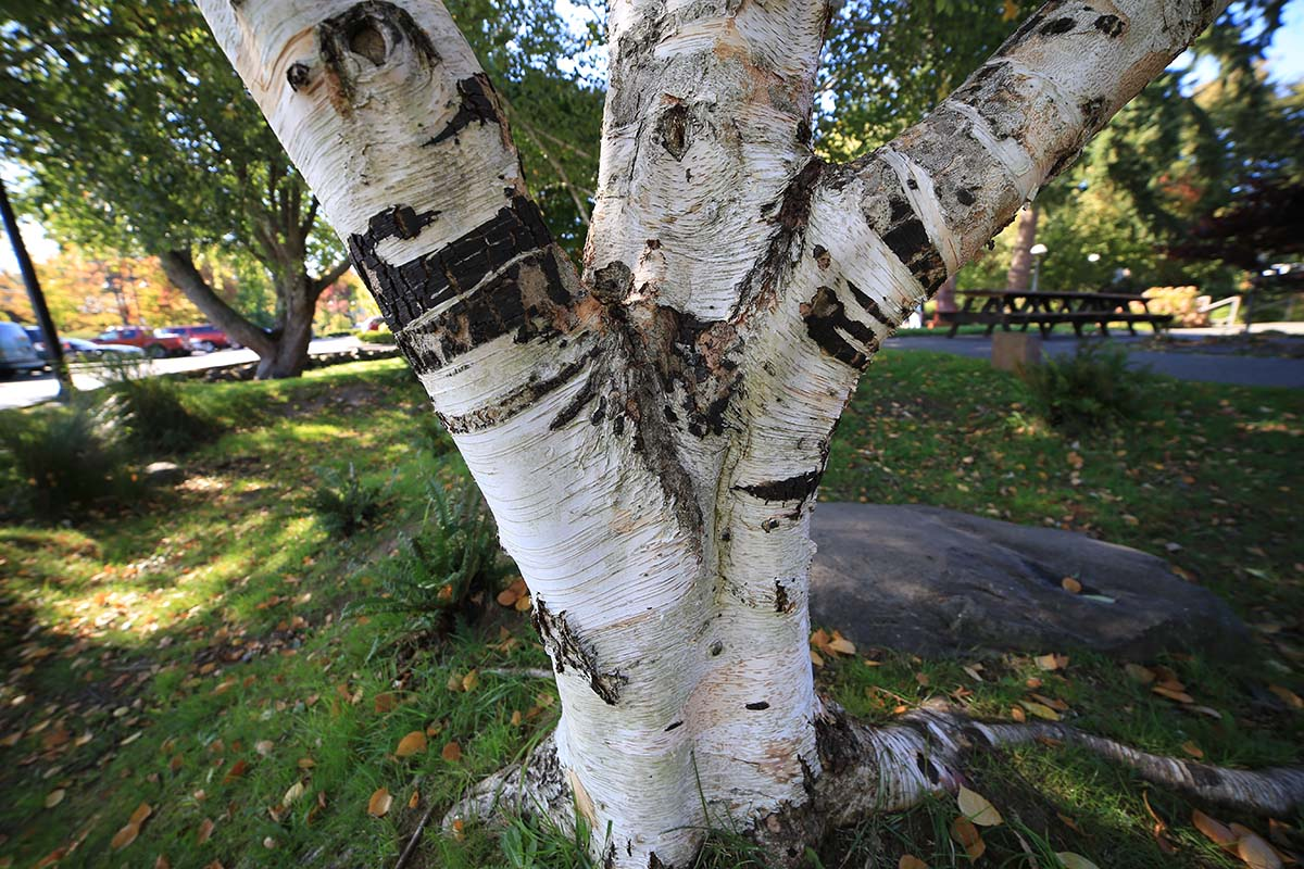 white-barked himalayan birch