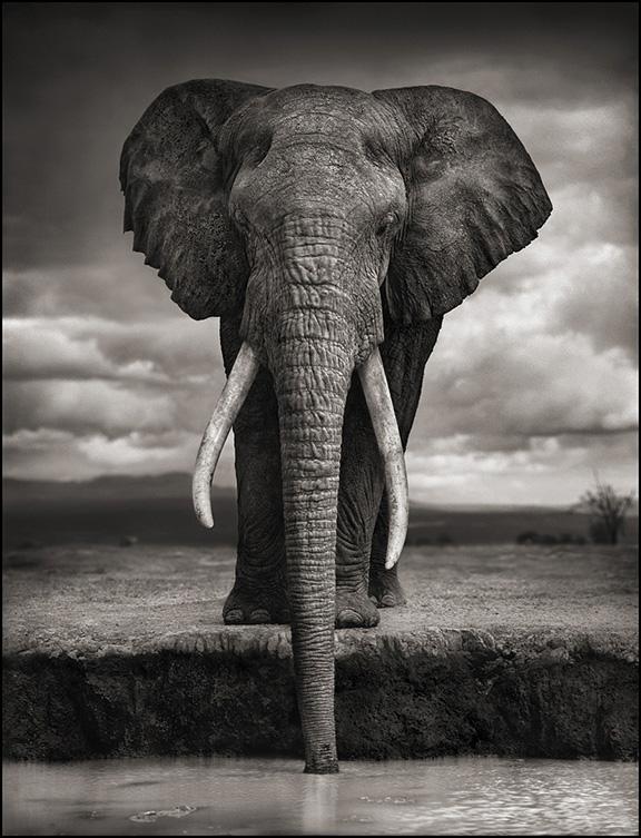 Elephant Drinking 8inW