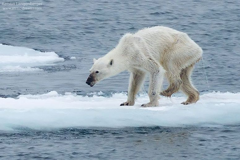 The starving polar bear